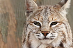 Not Impressed. Closeup of a Bobcat against a blurred background Royalty Free Stock Images