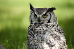 Not Impressed. Closeup of a Great Horned Owl with a grumpy expression Royalty Free Stock Photos