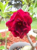 Rare two toned multi petaled Desert Rose plant. Not an issue with the photo, this multi petaled Desert Rose is indeed two colors of red royalty free stock photos