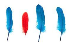 Not like everyone else concept of colored feathers. Small red feather surrounded by blue ones. Not like everyone else concept Stock Image