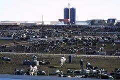 Cattle Feeding 2018 stock photography