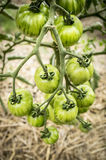 Not mature striped tomatoes on branch in garden Royalty Free Stock Photos