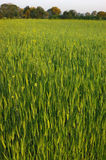 Not a mature wheaten field. Fresh green spikelets on a wheaten field Royalty Free Stock Photo