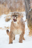Not in my backyard. Very agitated and aggressive mountain lion in snow Stock Images