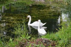 Family of swans on a pond. royalty free stock photo