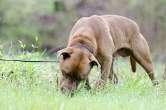 Not neutered chocolate Lab mixed dog eating grass. Brown unneutered male Lab bulldog mixed breed dog with wide black collar. Pet adoption photography for Walton Royalty Free Stock Images