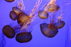 Not-so-nice Jellies. The Monterey Bay Aquarium offers some beautiful views of aquatic life. These jellies took me into another world; a world of electricity and Stock Image