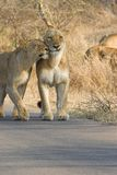Not now!!!. Lioness trying to show some affection to another in the pride Stock Images