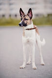 Not purebred dog Royalty Free Stock Photography