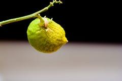 Not ripe fruit lemon on a branch on a black background. Not ripe fruit lemon on a branch, on a black background Royalty Free Stock Photo