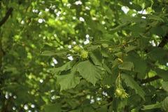 Hazelnut. Not a ripe hazelnut in a recreation park Stock Images