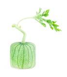 Not ripe watermelon Royalty Free Stock Image