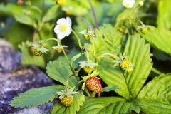 Not ripe wild forest strawberries and some flowers on strawberry plant. Not ripe wild forest strawberries and some flowers on strawberry bush Royalty Free Stock Photo