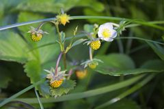 Not ripe wild forest strawberries and some flowers on strawberry plant. Not ripe wild forest strawberries and some flowers on strawberry bush Royalty Free Stock Image