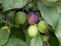 Not ripened fruits of plum. On tree branches Royalty Free Stock Image