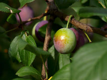 Not ripened fruits of plum. On tree branches Stock Images
