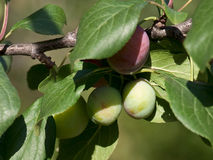 Not ripened fruits of plum. On tree branches Royalty Free Stock Photo
