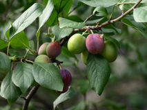Not ripened fruits of plum. On tree branches Stock Photos