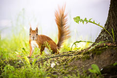 A Not So Secret Squirrel. Photo of charming squirrel in the forest Royalty Free Stock Photos