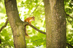 A Not So Secret Squirrel. Photo of charming squirrel in the forest Royalty Free Stock Photo