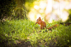 A Not So Secret Squirrel. Photo of charming squirrel in the forest Stock Photo