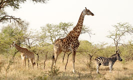 Not on speaking terms. Giraffe and zebra with their backs turned on a baby giraffe - suggesting they are not on speaking terms - Mkuze game reserve Stock Photo