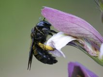 Wild black and shiny Carpenter Bee collecting pollen from a flow stock photo