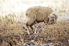 Twin Lambs in Paddock. It is not too common to see twin lambs. They are such cute and tiny little animals when they are born. When the lambs grow to sheep the royalty free stock images