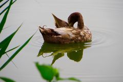 Not so ugly duckling Stock Images