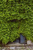 Virginia creeper has taken possession of historic building. By not using the building for decades, nature has taken possession of it royalty free stock photos