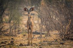 Young greater kudu bull at bwabwata national park royalty free stock photo