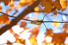 Nota de dólar cinco que adere-se a um ramo com folhas de bordo e o céu alaranjados no fundo fotos de stock
