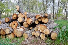 Notation des chênes dans la forêt photos libres de droits