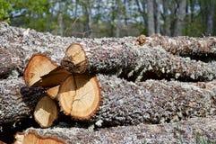 Notation des chênes dans la forêt photographie stock libre de droits
