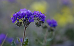 Notch-Leaf Phacelia. Or phacelia crenulata in Death Valley National Park Stock Photography