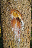 Notch in a tree with an ax Royalty Free Stock Photo
