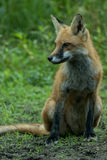 Notch Turned. Notch the red fox turned in a meadow Stock Image