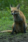 Notch Yawning. Notch the red fox yawning in the morning Stock Images