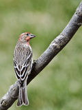 Notched Tail House Finch Stock Photography