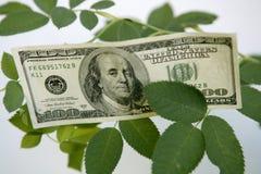 Note del dollaro che crescono da una pianta della rosa Immagine Stock