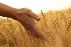 Note des Weizenohrs lizenzfreie stockfotos