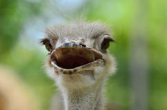 Note the long eyelashes to protect the eyes on ostrich Royalty Free Stock Photo
