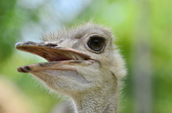 Note the long eyelashes to protect the eyes on ostrich Royalty Free Stock Images