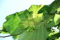 Noten van hazelnoot het groeien Hazelnootboom, hazelnoten klaar te plukken Groene hazelnoot op de boom Custer van huzelnuts op tr stock foto's