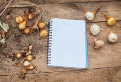 Notepad for notes  and bulbs of tulips on the table Stock Photos