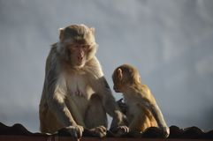 Nother и сын обезьяны стоковые изображения rf
