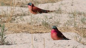 Nothern Carmine Bee-eater (Merops nubicoides) stock video footage