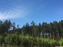 An amazing forest with tall pines. royalty free stock photos