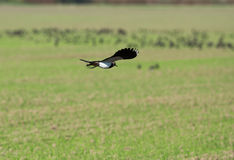 Nothern lapwing. A nothern lapwing in natural hibitat Stock Photos