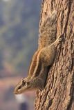 Nothern palm squirrel (Funambulus pennantii). Sitting on a tree Royalty Free Stock Image